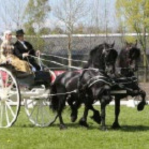 friese-paard-violettacars.jpg